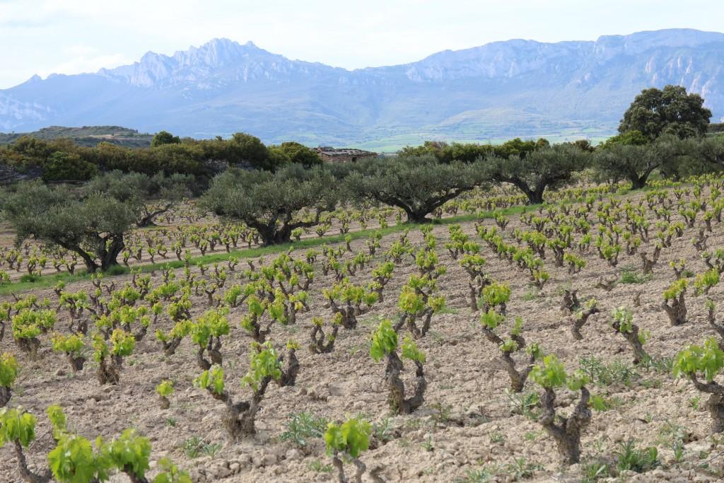 Viñas y Olivos, Lanciego