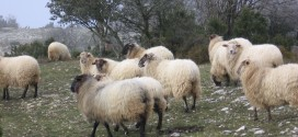 ovejas latxa montes de alava