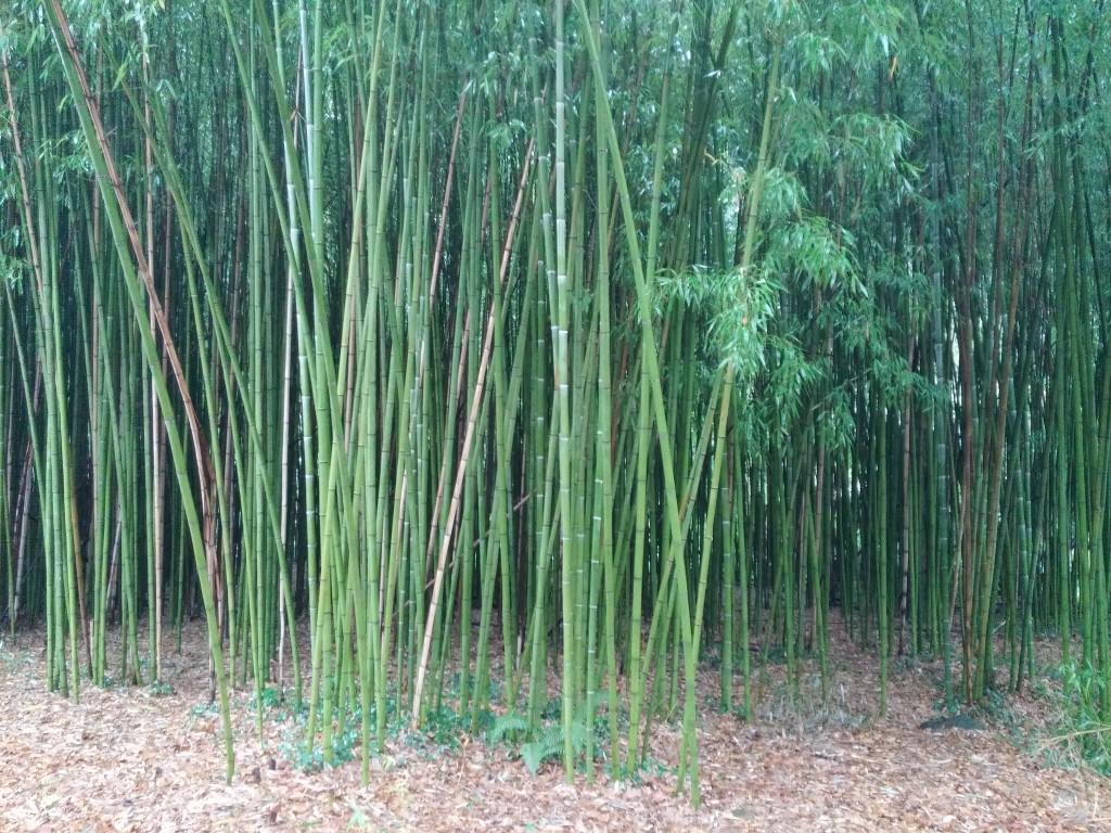 Cañas de bambu en el entorno de la ferrería el pobal