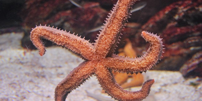 Estrella de mar, Aquarium San Sebastián