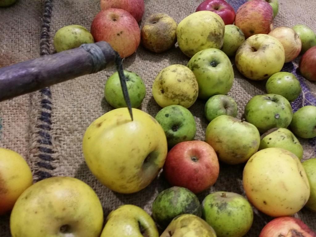 Recogida de manzanas con Kizki