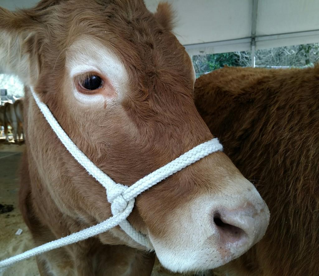 Vaca pirenaica San Blas Abadiño