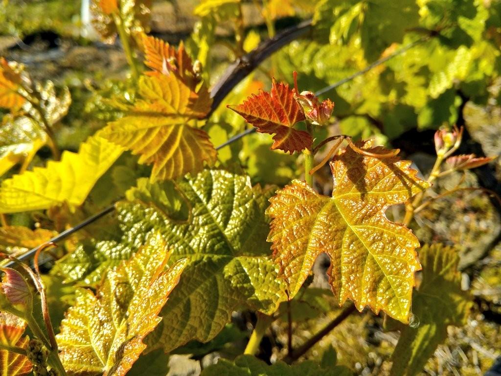 mejores bodegas de txakoli, hojas