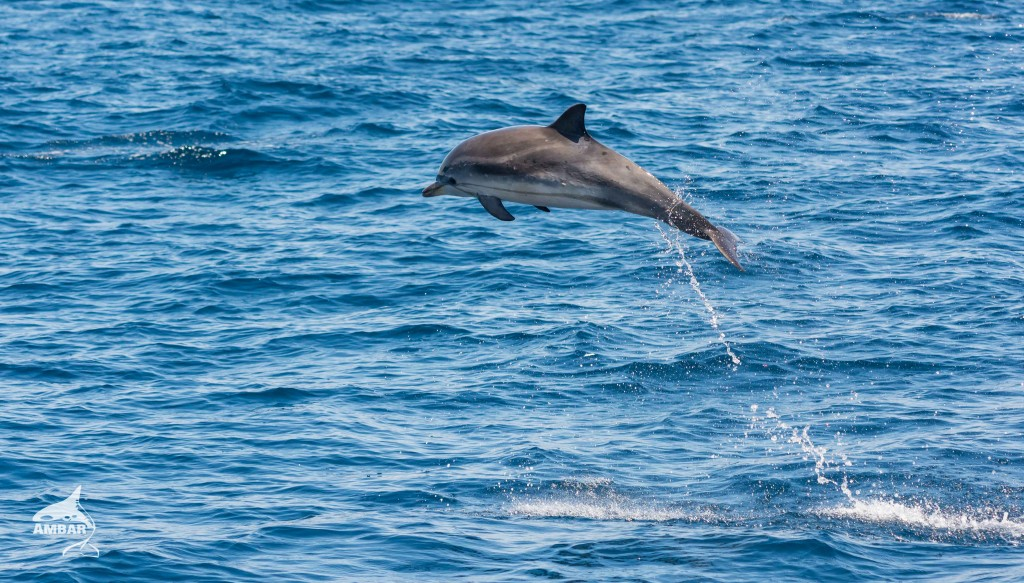 Delfin fuera del agua ambar
