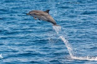 Salto delfin ambar