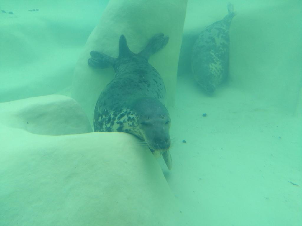 Foca en el interior de la piscina en el Aquarium de Biarritz