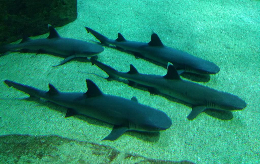 Tiburones en el aquarium de Biarritz