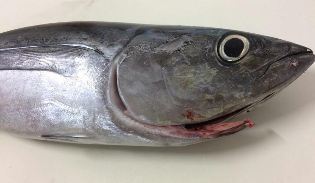 Bonito pescado en Bizkaia