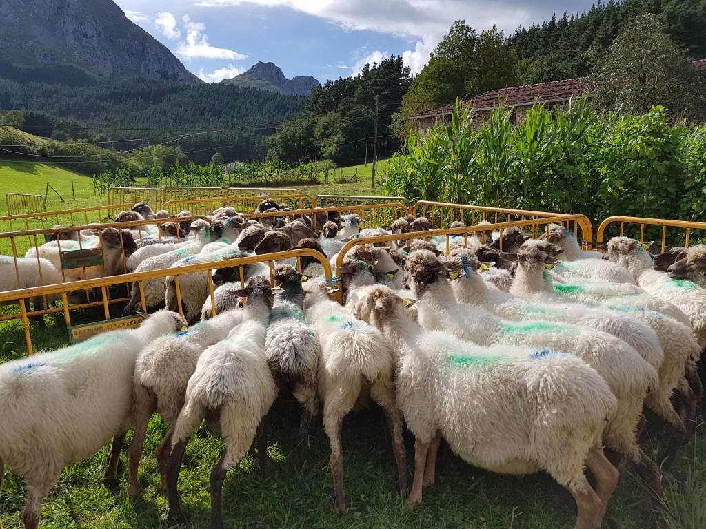 Grupos de ovejas, Campeonato de perros pastores de Euskal Herria