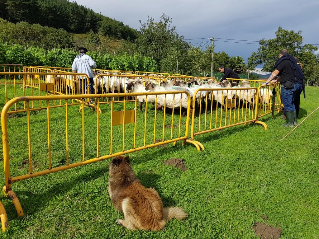 Organización , Campeonato de perros pastores de Euskal Herria
