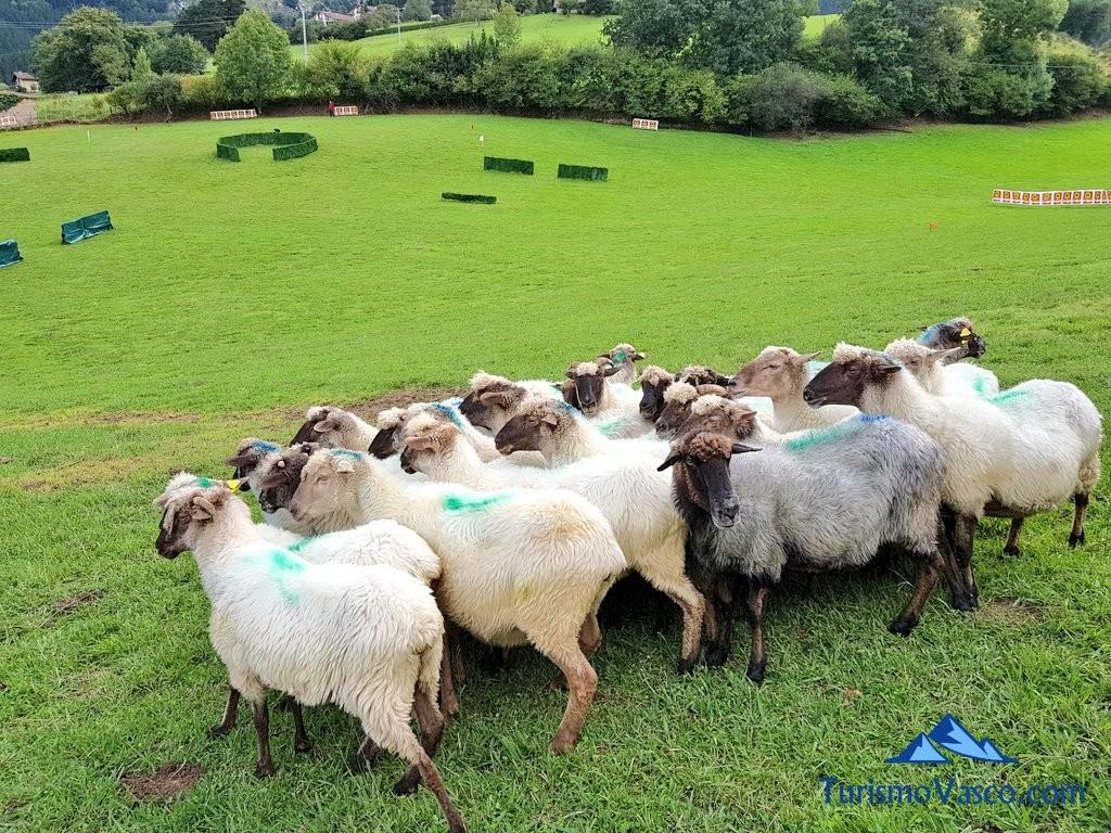 Ovejas, concurso de perro pastor de Euskal Herria