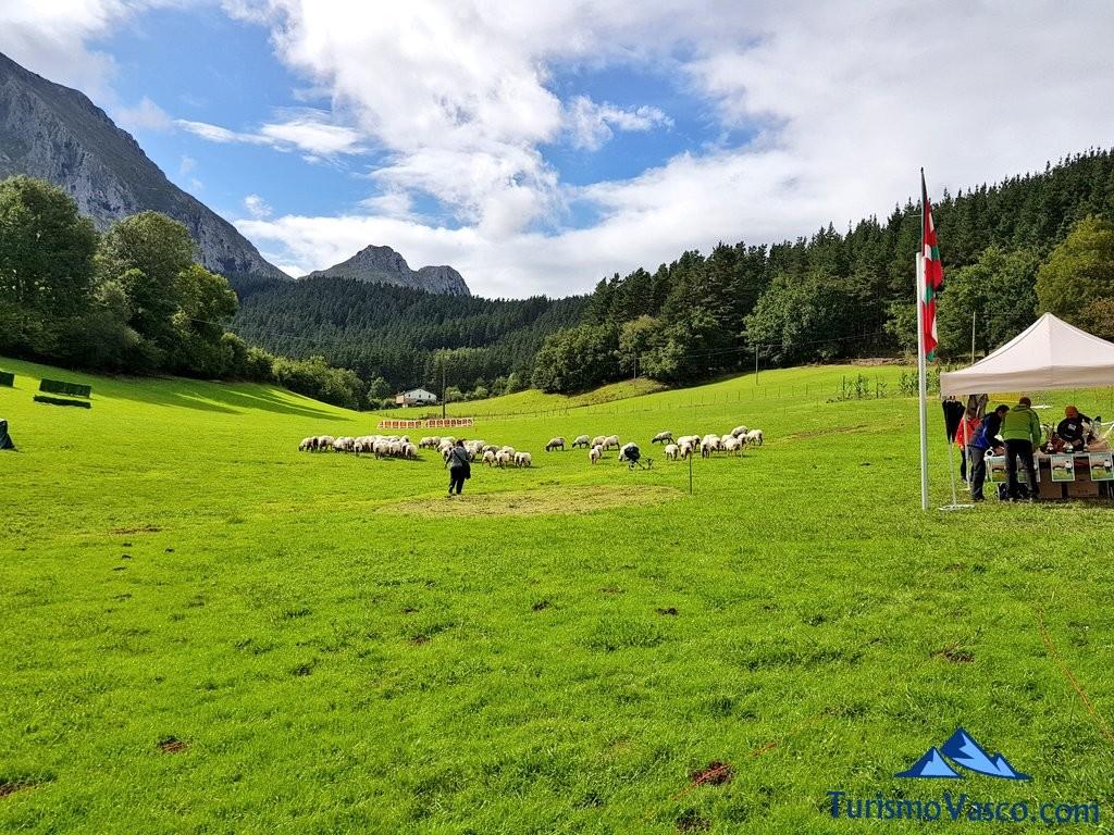 Preparativos concurso de perro pastor de Euskal Herria