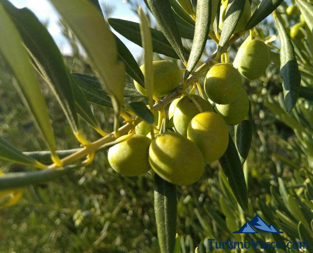 Racimo de olivas en Moreda