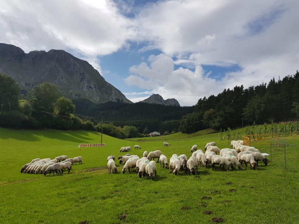 Rebaño de ovejas, Campeonato de perros pastores de Euskal Herria