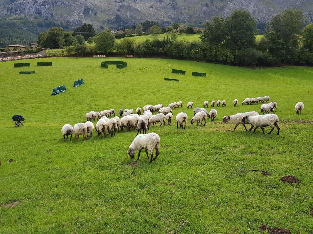 Rebaño pastando, Campeonato de perros pastores de Euskal Herria