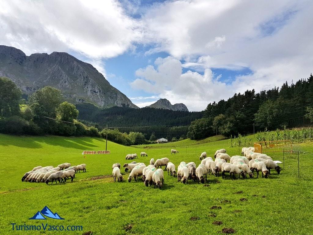 Rebaño pastando en Axpe, concurso de perro pastor de Euskal Herria