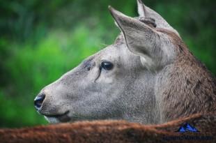 Ciervo en la berrea en Gorliz