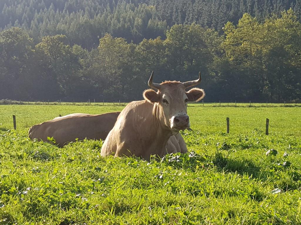 Vacas pirenaicas, vía verde de Arrazola