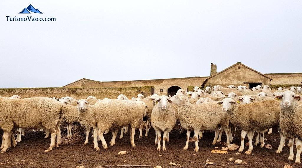 Ovejas Bardenas Reales, Navarra