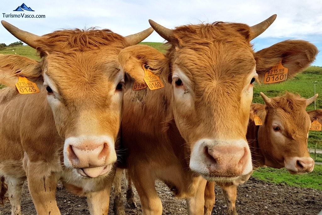 Vacas pirenaicas, Gorliz, granja, baserria