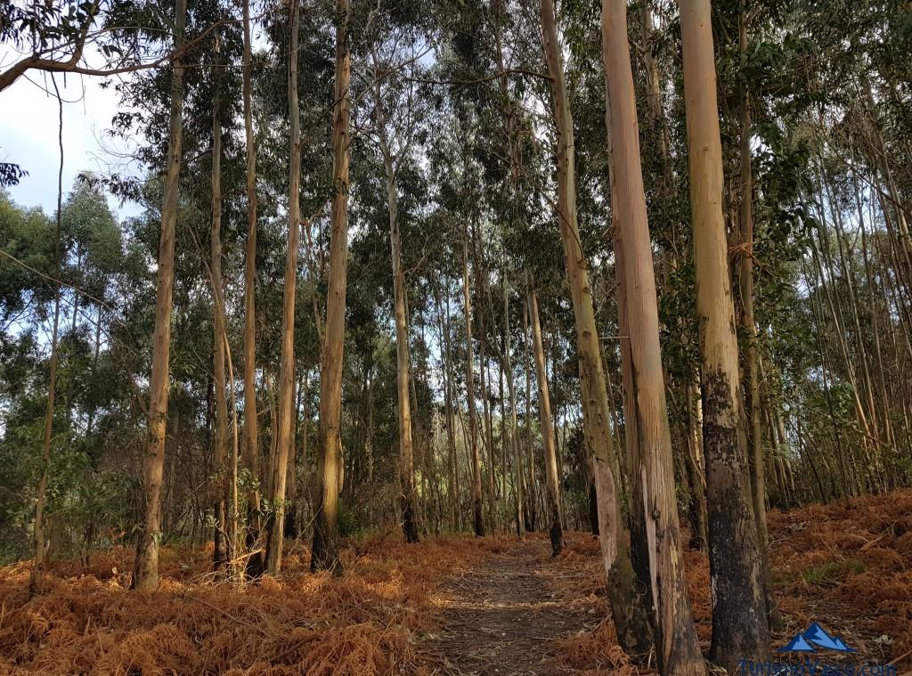 Bosque de eucaliptus en el Cinturon de Hierro en Sopela y Berango
