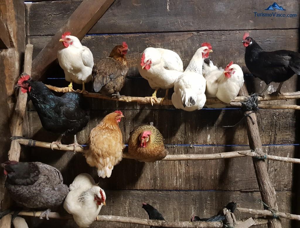 Gallinas de Maitina, las gallinas de la casa rural Monaut, Valle de Arce, Pirineo Navarro