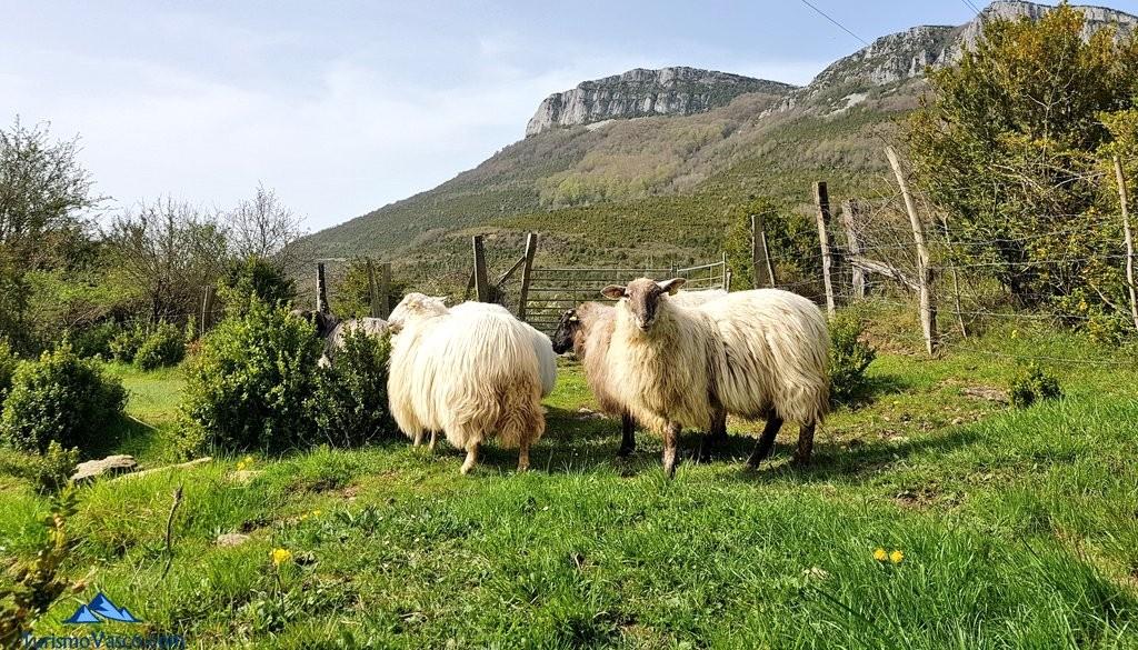 Ovejas latxas de Maitina, casa rural Monaut, Valle de Arce, Pirineo Navarro