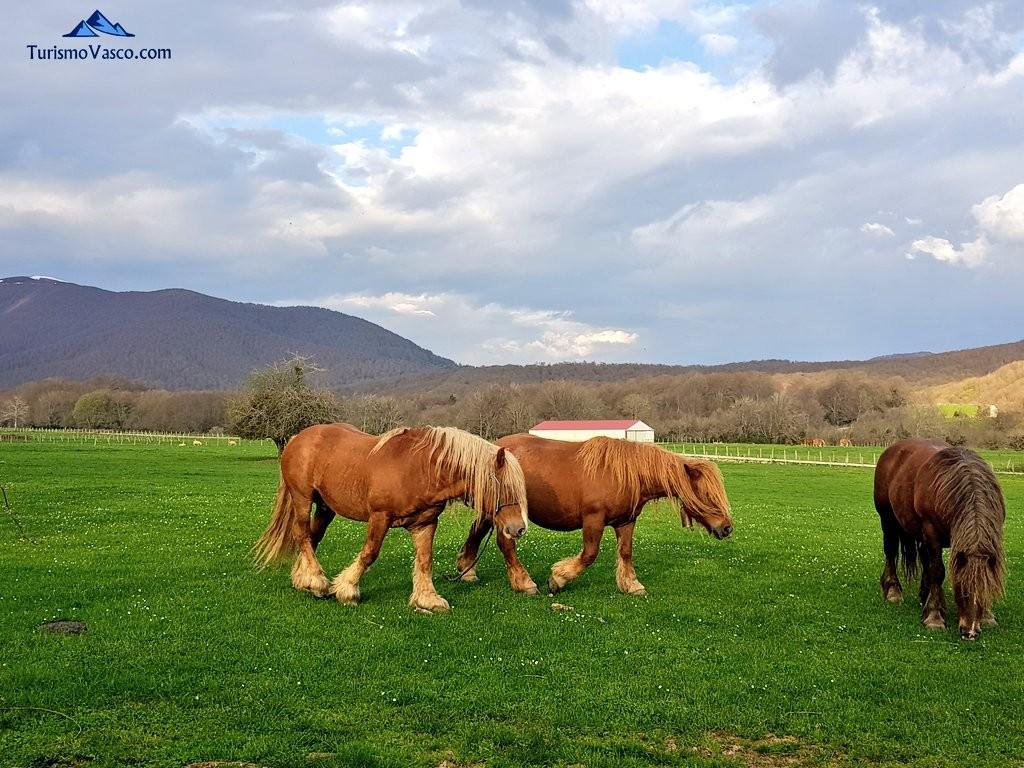 Yeguas y caballos de raza Burguete, Pirineo Navarro
