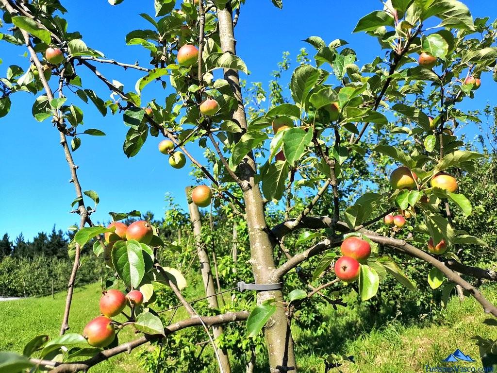 manzanas en la Sidreria Arizia Zarautz
