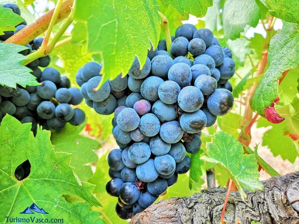 Racimo de uva, rioja alavesa