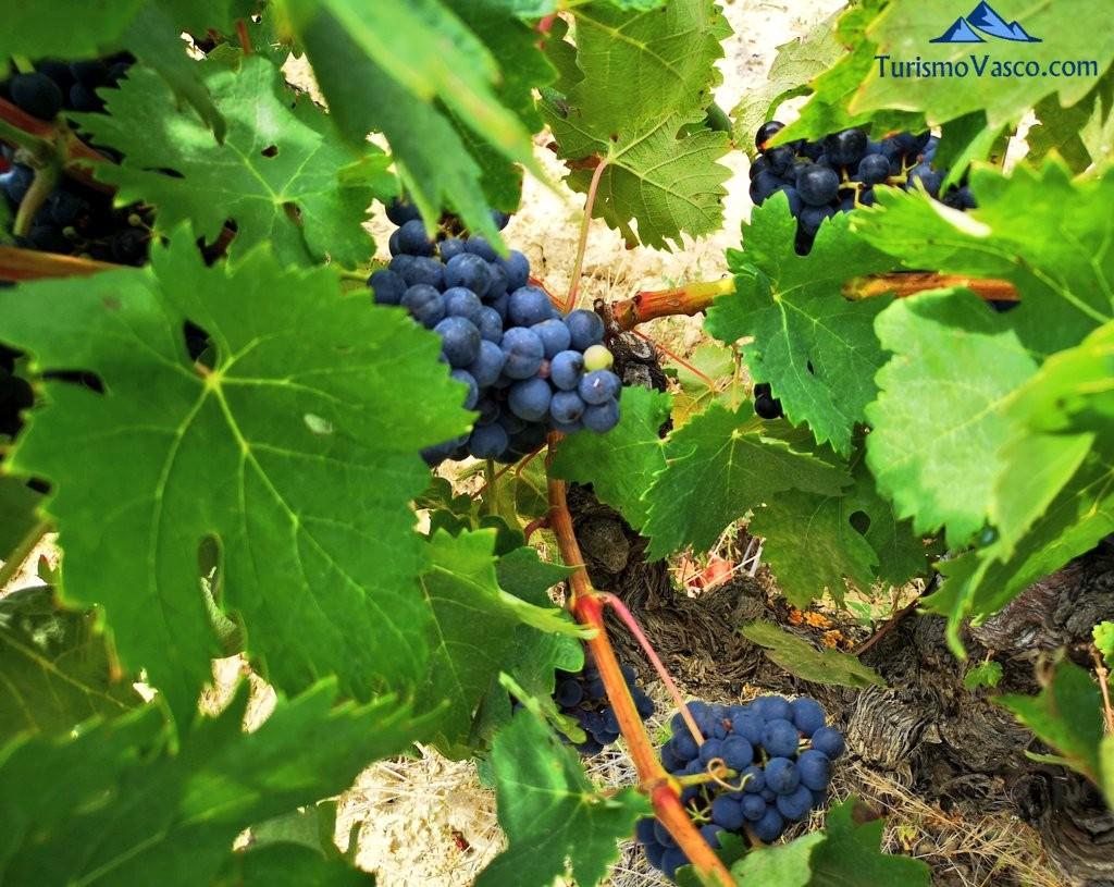 viñedos, uva, rioja alavesa