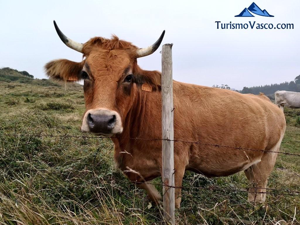 Vaca, paseo Itsaslur, pobeña kobaron
