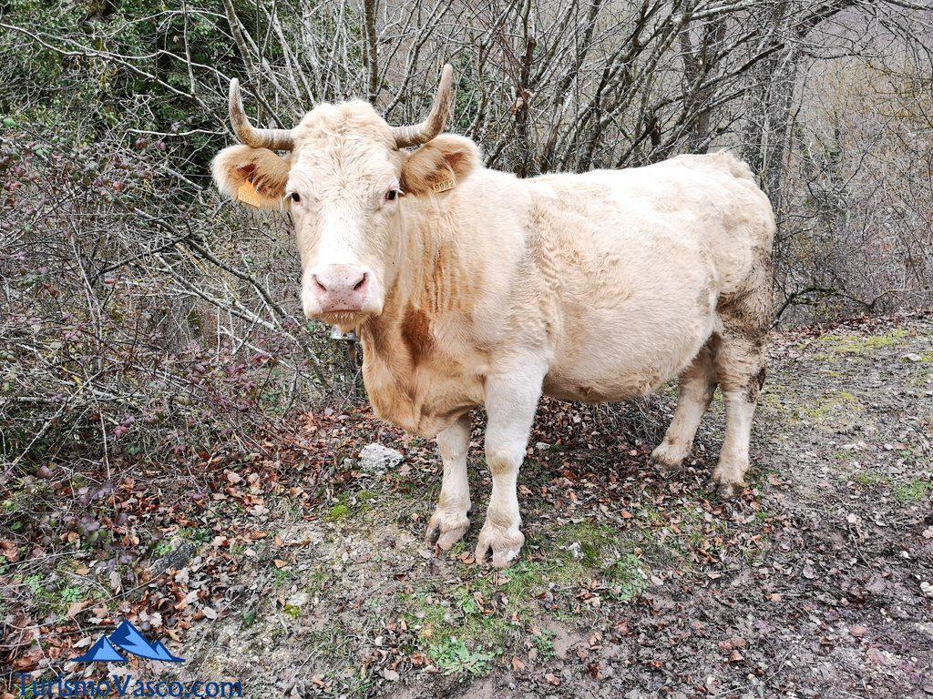 vaca, Ruta Okina Saseta
