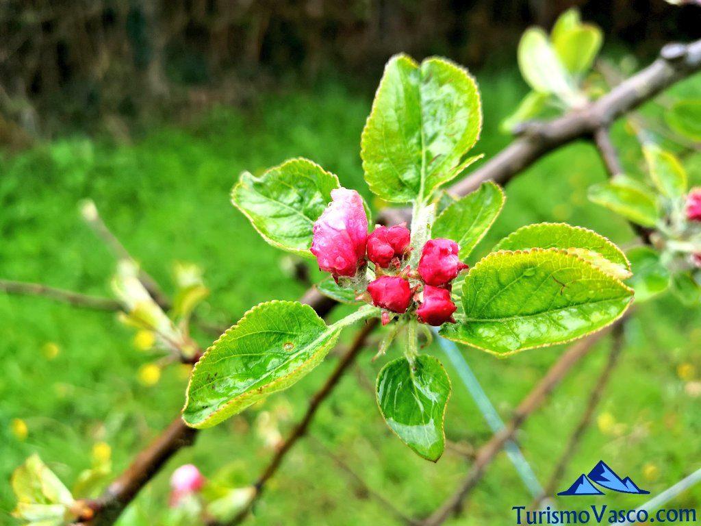 Flor de manzano, Zerain, Oiharte sagardotegia
