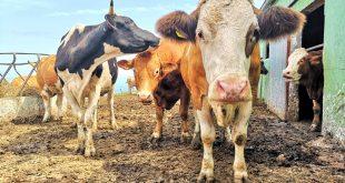 vacas cuadra, visita caserio vasco