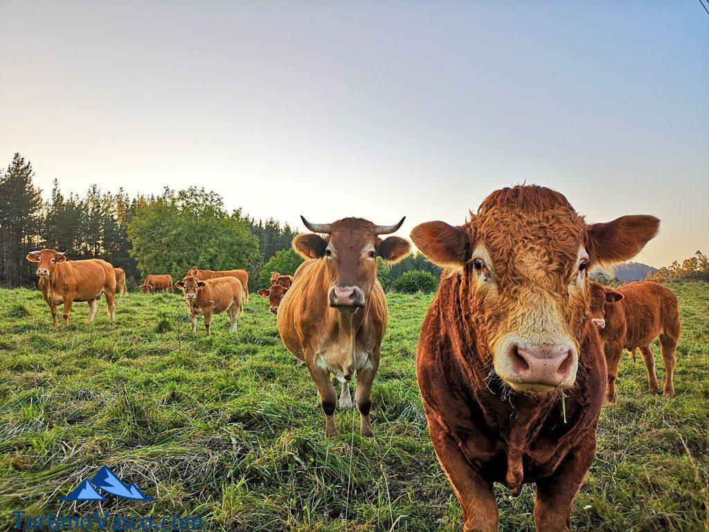 vacas, animales, gernika que ver y hacer