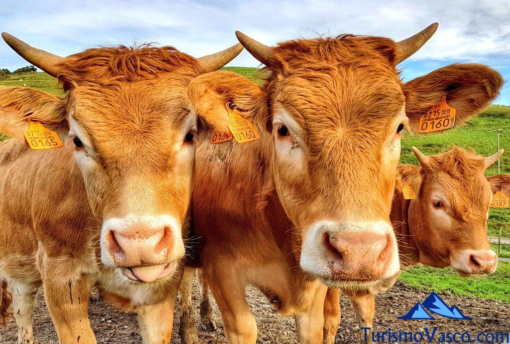 vacas pirenaicas, granja y faro de gorliz