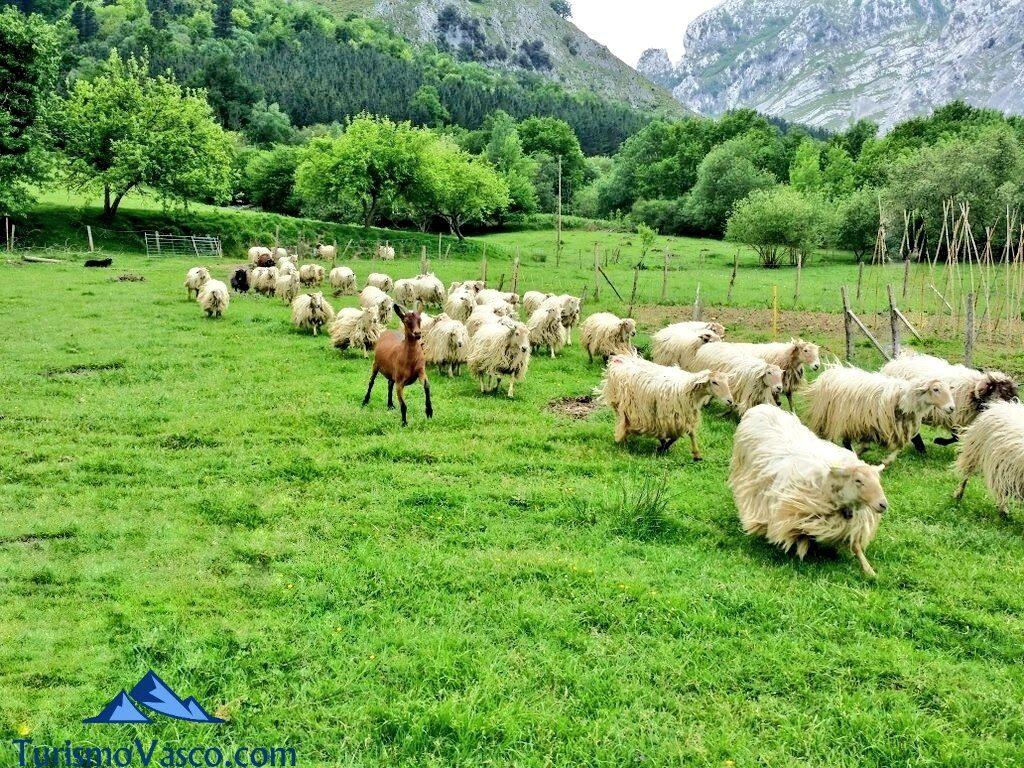 ovejas en alluitz natura