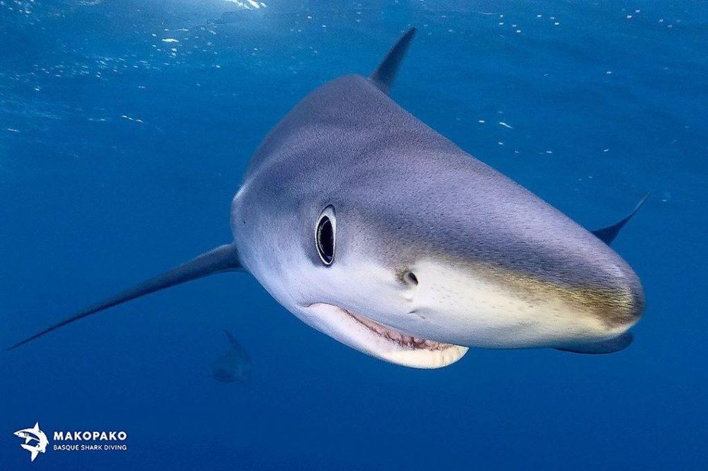 dientes tiburon, nadar con tiburones en Euskadi