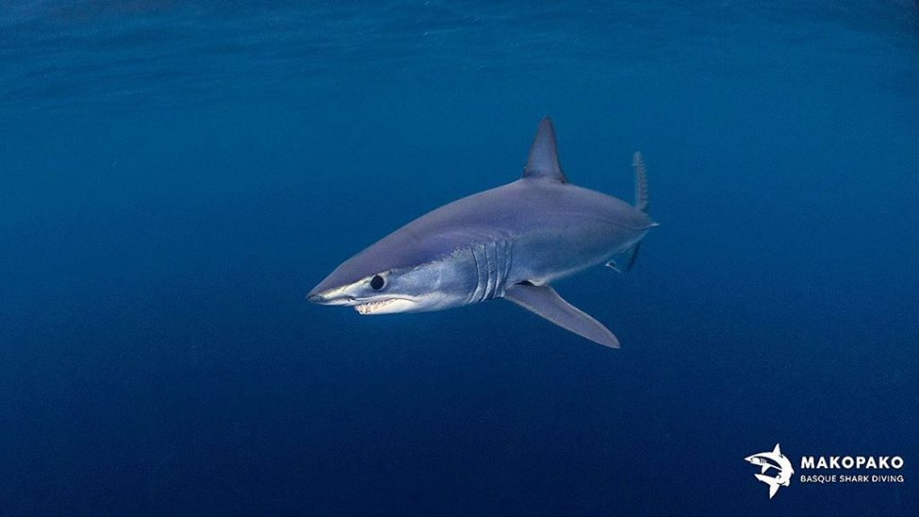 marrajo, nadar con tiburones en Euskadi