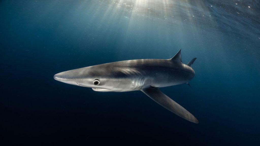 snorkel con tiburones, nadar con tiburones en Euskadi
