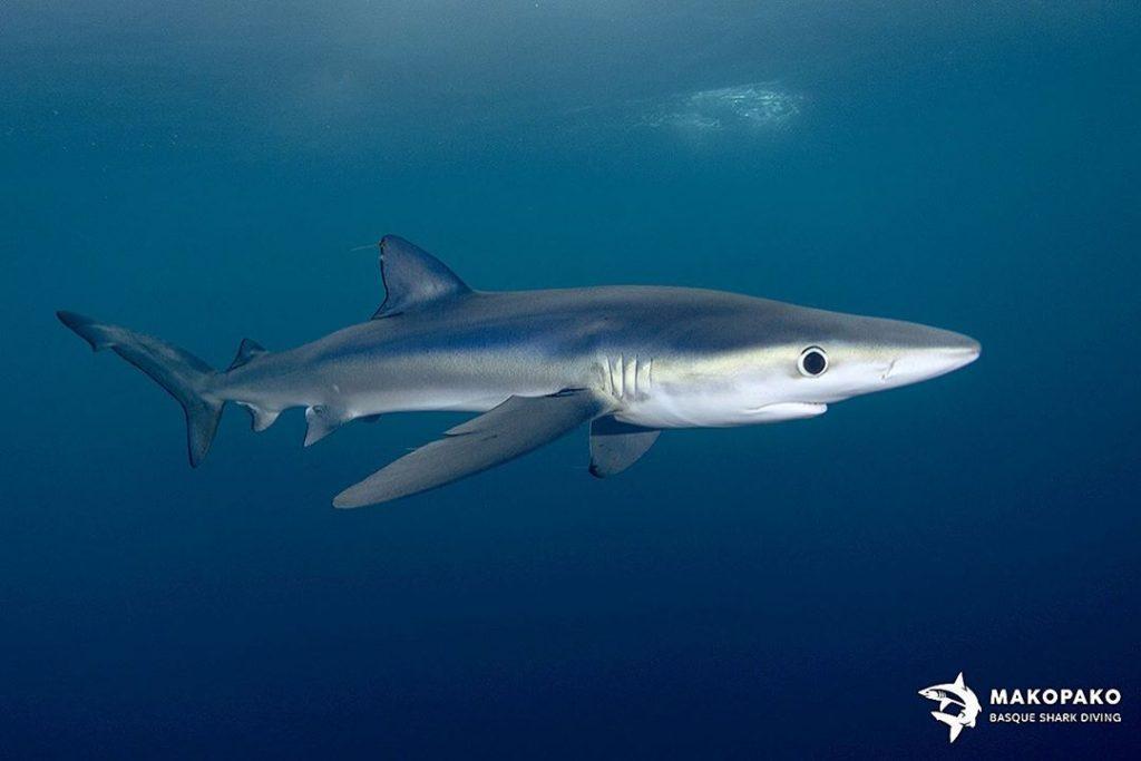 tiburon 2 metros, nadar con tiburones en Euskadi