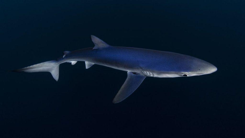 tiburon Bermeo, nadar con tiburones en Euskadi