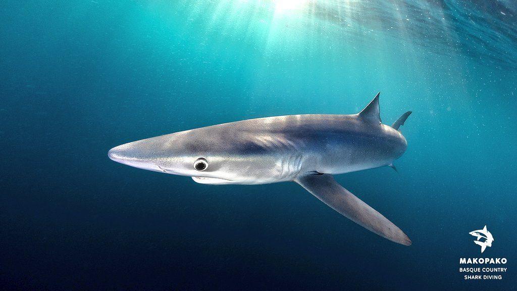 tiburon azul en urdaibai, nadar con tiburones en Euskadi