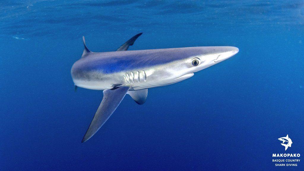 tiburon nadando, nadar con tiburones en Euskadi