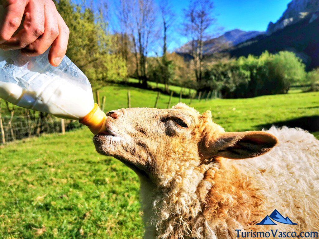 biberon cordero en alluitz, pastor por un día en Euskadi