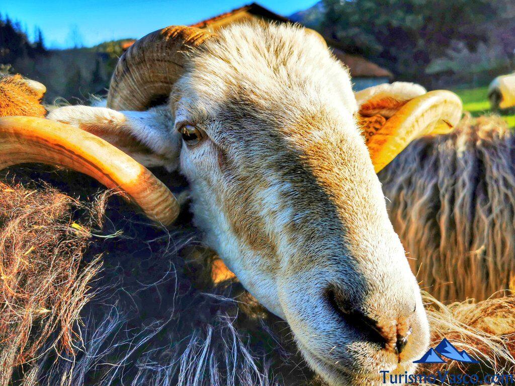 carnero, alluitz natura, pastor por un día en Euskadi