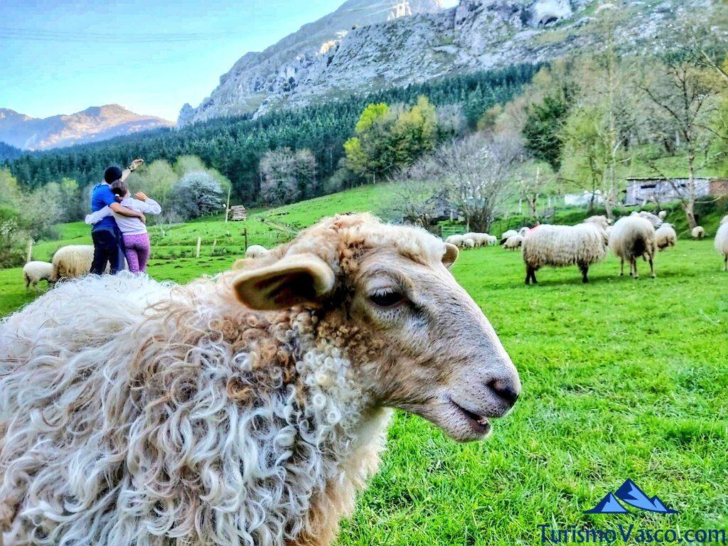 ovejas en familia en bizkaia, pastor por un día