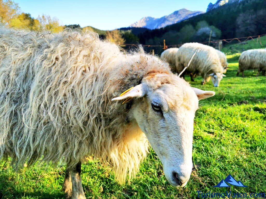 rebaño ovejas, pastor por un día en Euskadi