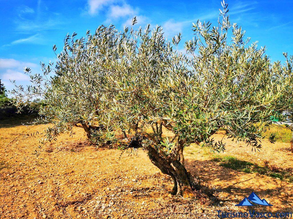 olivos en rioja alavesa, aceite de rioja alavesa, araba